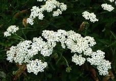 Weiße Blumen oder Achillea Millefolium der Schafgarbe Stockfotos
