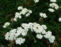 Weiße Blumen oder Achillea Millefolium der Schafgarbe Stockfoto