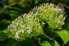 Weiße Blumen oder Flucht Ixora chinensis auf einem Himmelhintergrund lizenzfreie stockfotos