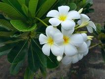Weiße Blumen am regnerischen Tag Stockfotografie
