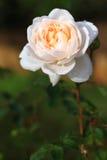 Weiße Blumen Rosen Stockfotos