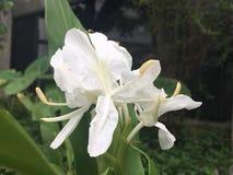Weiße Blumen schauen zerbrechlich stockfotografie