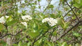 Weiße Blumen schwarzer Chokeberry stock video footage