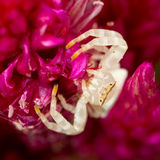 Weiße Blumen-Spinne stockbilder
