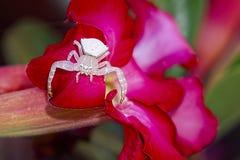 Weiße Blumen-Spinne Stockfoto
