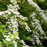 Weiße Blumen spirea Niederlassung für Tapetenentwurf Detail des alten h?lzernen Fensters Weißer Hintergrundentwurf Blumendekorati stockbilder