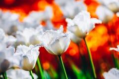 Weiße Blumen Tulip In Spring Garden Lizenzfreies Stockbild