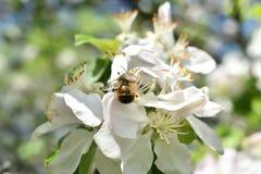 Weiße Blumen und Biene lizenzfreie stockbilder