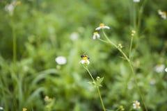 Weiße Blumen und Biene Stockfotografie