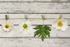 Weiße Blumen und Blatt auf dem Seil mit einer Wäscheklammer Lizenzfreie Stockfotografie
