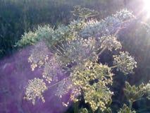 Weiße Blumen und buntes Sonnenlicht des Sonnenuntergangs Lizenzfreies Stockbild