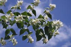 Weiße Blumen und Himmel mit Wolken Stockbild