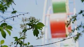 Weiße Blumen und Riesenrad (unscharf) Taganrog stock footage