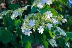 Weiße Blumen Viburnum lizenzfreie stockbilder