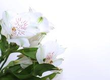 Weiße Blumen von Alstroemeria auf weißem Hintergrund schöner Kartenhintergrund stockfotografie