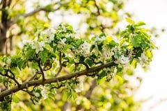 Weiße Blumen von Apfelbäumen im Frühjahr Stockfotografie