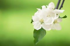 Weiße Blumen von Apfelbäumen im Frühjahr im Park Stockfotografie