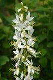 Weiße Blumen von Dictamnus albus, brennender Busch lizenzfreie stockfotografie