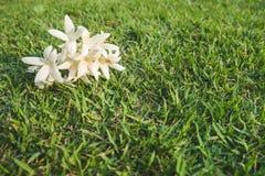 Weiße Blumen von Millingtonia-hortensis auf dem Rasen stockbilder