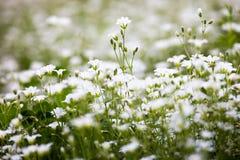 Weiße Blumen von Stellaria holostea Stockfotografie