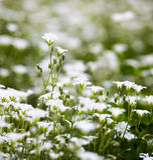 Weiße Blumen von Stellaria holostea Stockbilder