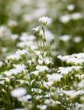 Weiße Blumen von Stellaria holostea Stockbild