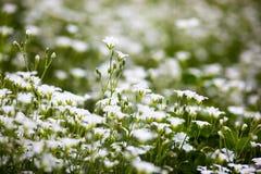 Weiße Blumen von Stellaria holostea Lizenzfreies Stockfoto