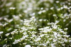 Weiße Blumen von Stellaria holostea Lizenzfreie Stockfotografie
