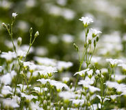 Weiße Blumen von Stellaria holostea Lizenzfreie Stockbilder