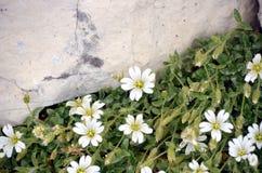 Weiße Blumen-wachsendes Stockfotografie
