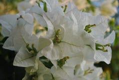 Weiße Blumen weißen Bougainvillea Lizenzfreie Stockfotos