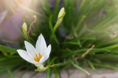 Weiße Blumen Zephyranthes-Lilie oder Regen-Lilie mit romantischem Weiche Stockbild