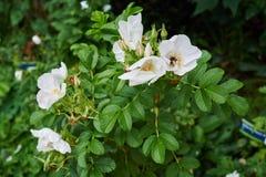 Weiße Blumenblätter Stockbilder