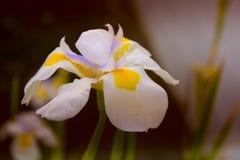 Weiße Blumenblätter der Narzisse (Narzissen) mit kompaktem Gelb und purpl lizenzfreie stockfotos