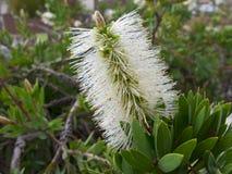 Weiße Bottlebrushblume Stockbilder