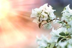 Weiße Bouganvillablume mit Sonnenlicht und Unschärfe bokeh backgrou Stockfoto