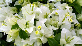 Weiße Bouganvillablumen mit grünen Blättern Stockfotografie
