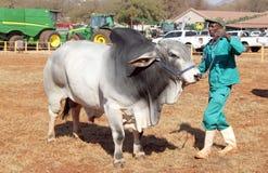 Weiße Brahman- Stierführung durch Lenkerfoto Lizenzfreies Stockfoto