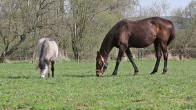 Weiße braune Pferde, die Gras in der Ranch essen stock video footage