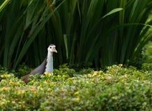 Weiße Breasted-Wasser-Henne Stockbild