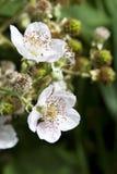 Weiße Brombeere-Blüten Stockfotos