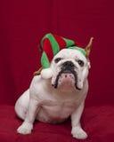 Weiße Bulldogge im Feiertagselfhut Stockbild