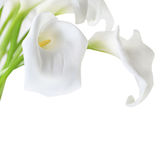 Weiße Cala-Lilien Lizenzfreie Stockfotos