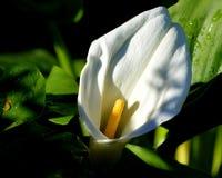 Weiße Calla-Lilie mit Backlighting Stockfotos