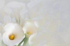 Weiße Calla-Lilie mit schwarzem Hintergrund Stockfoto