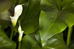 Weiße Calla-Lilie (Zantedeschia aethiopica) Stockbilder