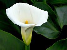 Weiße Callalilie Stockbild