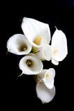 Weiße Callalilie Stockfotografie