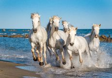 Weiße Camargue-Pferde, die auf dem Wasser laufen Lizenzfreies Stockfoto