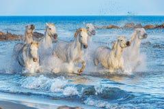 Weiße Camargue-Pferde, die auf dem Wasser laufen Stockfoto